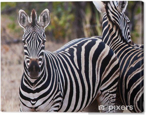 Tableau sur toile Zèbres dans le parc national Kruger, Afrique du Sud - Thèmes