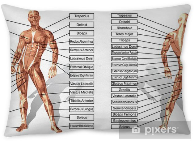Vector 3D man muscle anatomy with text isolated Throw Pillow