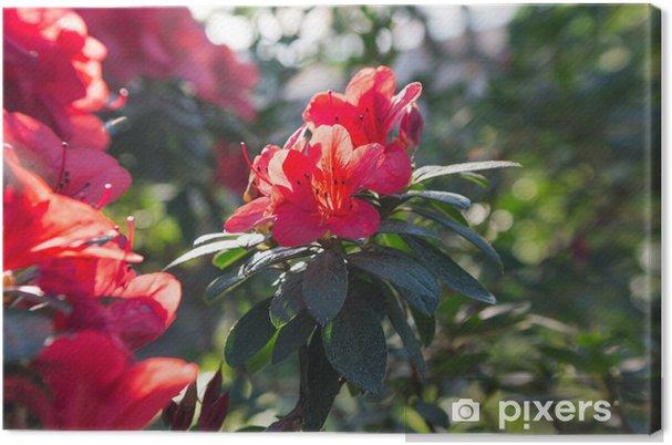 Açelya Kırmızı Bahar çiçekleri Açan Tuval Baskı Pixers Haydi