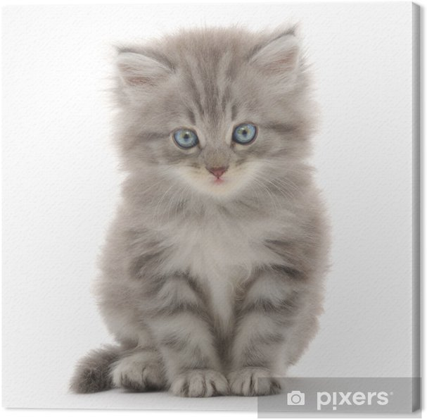 Tuval Baskı Beyaz zemin üzerine kedi yavrusu - Memeliler