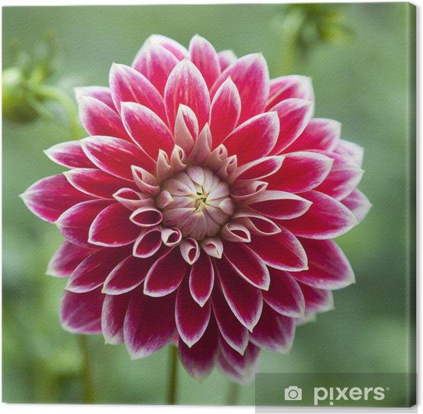 Kırmızı Dahlia Tek çiçek Tuval Baskı Pixers Haydi Dünyanızı