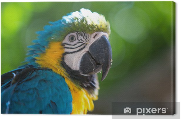 Tuval Baskı Mavi Altın Macaw papağan - Amerika