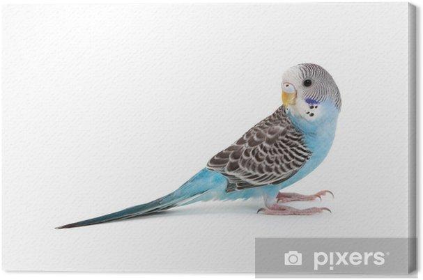 Mavi Muhabbet Kuşu Tuval Baskı Pixers Haydi Dünyanızı Değiştirelim