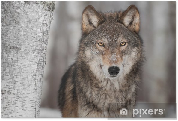 Zelfklevende Poster Grijze Wolf (Canis lupus) Naast Berk - Stijlen