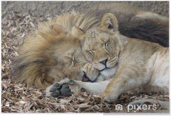 Zelfklevende Poster Leeuw en leeuwin slapen - Thema's