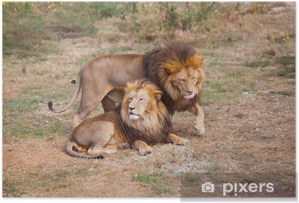 Zelfklevende Poster Lion -