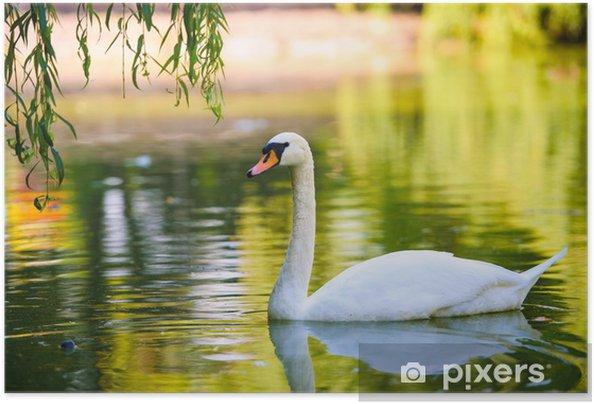 Zelfklevende Poster Mooie jonge zwanen in het meer - Zwanen