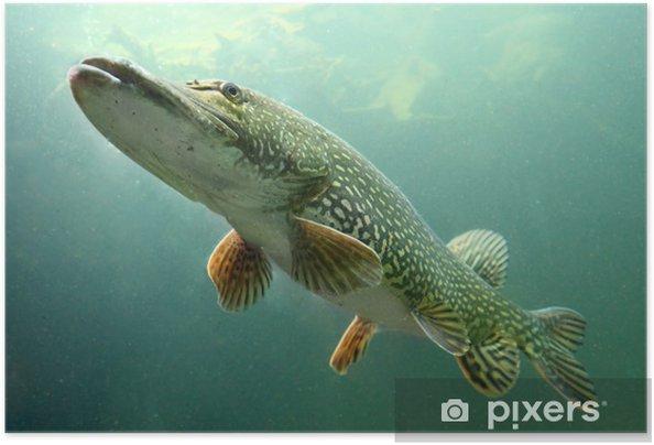 Zelfklevende Poster Onderwater foto van grote snoek (Esox Lucius). - Thema's