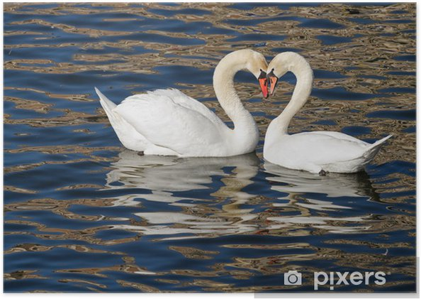 Zelfklevende Poster Romantische zwanen in het voorjaar. - Zwanen