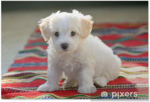 Zelfklevende Poster Witte puppy Maltese hond zittend op tapijt - Dieren