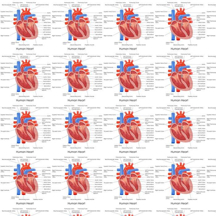 Tapete Vektor-Illustration von Diagramm des menschlichen Herzens ...