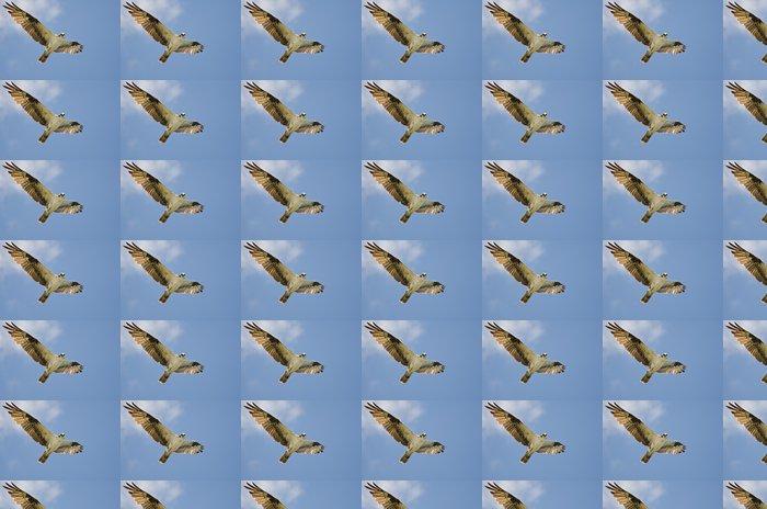 Vinylová Tapeta Osprey Making Oční kontakt během letu ve Blue Sky - Ptáci