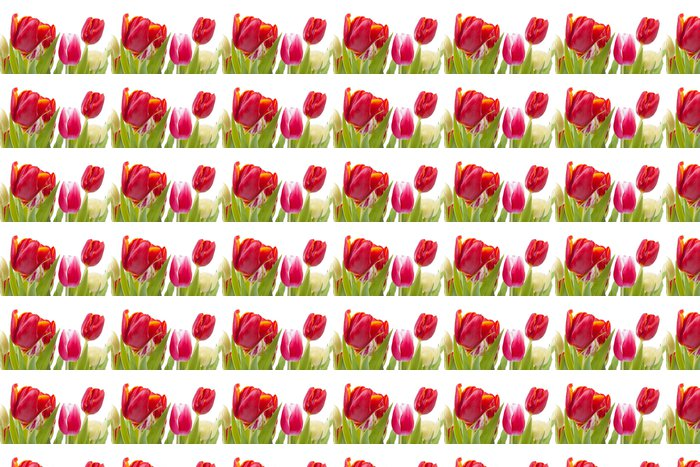 Vinylová Tapeta Červené tulipány v detailním na bílém pozadí - Květiny