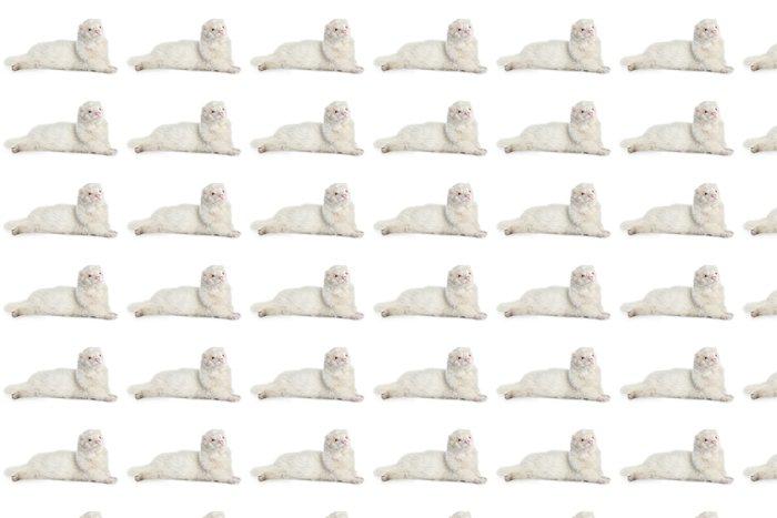 Vinylová Tapeta Albino fretky, ležící na bílém pozadí - Savci