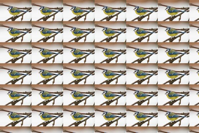 Vinylová Tapeta Bluetit (aka Parus caeruelus) - Ptáci