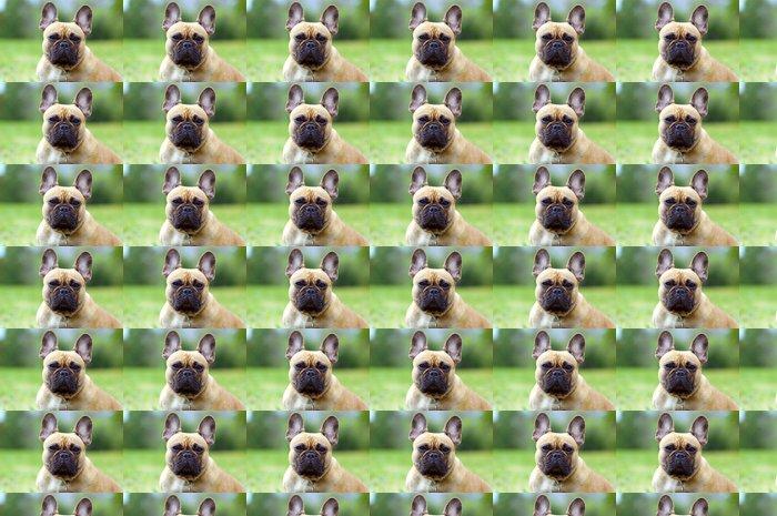 Vinylová Tapeta Francouzský Booldog, pes portrét detailní - Savci