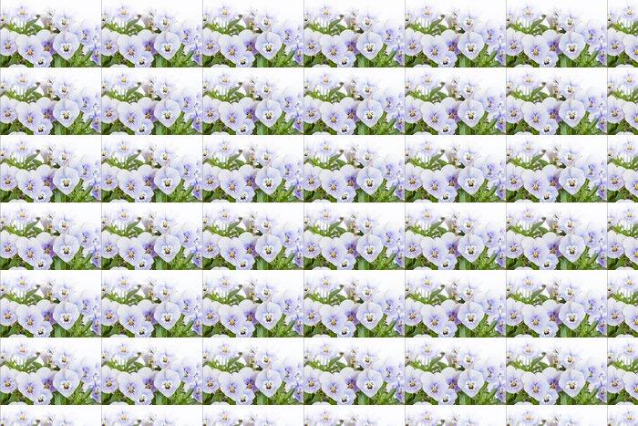 Vinylová Tapeta Mehrere Hornveilchen (Viola cornuta) na bílém pozadí - Květiny