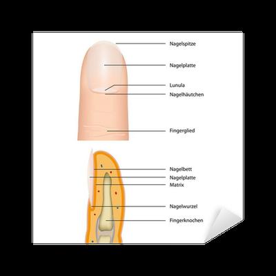 Aufkleber Anatomie finger nagel, Vektor-Illustration • Pixers® - Wir ...