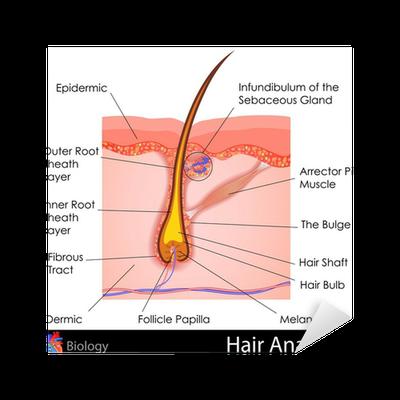 Aufkleber Haar-Anatomie • Pixers® - Wir leben, um zu verändern