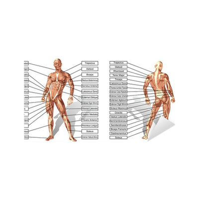 Aufkleber Vector 3D Mann Muskelanatomie mit Text isoliert • Pixers ...