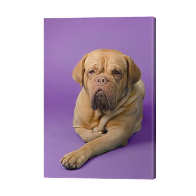 Beautiful French Mastiff Canvas Print Pixers We Live To Change
