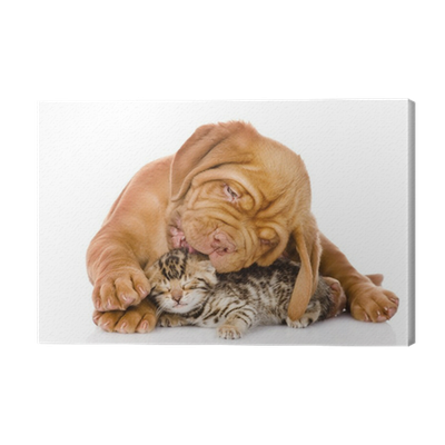 Bordeaux Puppy Dog Licking Bengal Kitten Isolated On