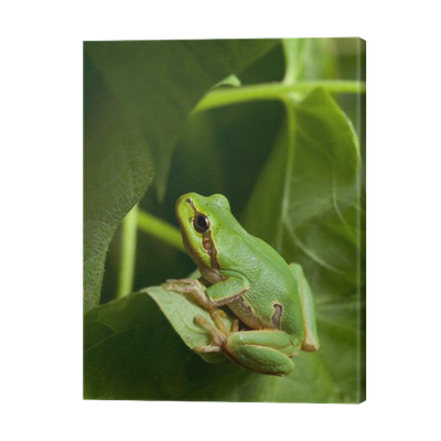 Green Tree Frog Hiding In Foliage Canvas Print Pixers