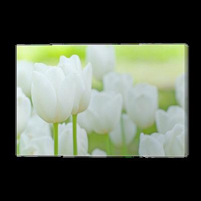 weisse tulpen canvas print pixers we live to change. Black Bedroom Furniture Sets. Home Design Ideas