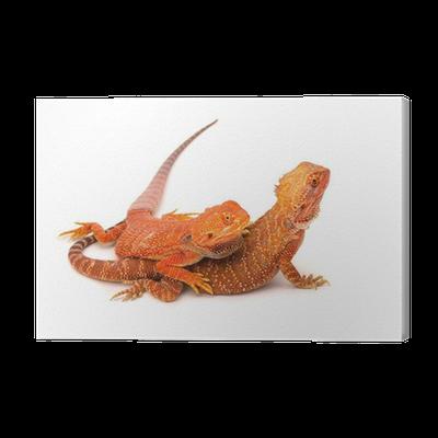 Cuadro en Lienzo Bebé dragón barbudo • Pixers® - Vivimos para cambiar