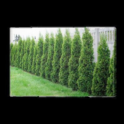 unikalny design na wyprzedaży zawsze popularny Cuadro en Lienzo Thuja, la fila de árboles en el jardín • Pixers® - Vivimos  para cambiar