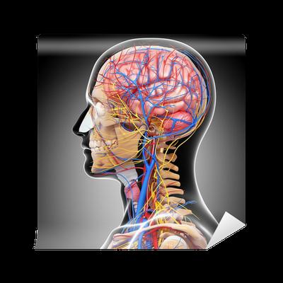Fototapete Anatomie des Kreislaufsystems und des Nervensystems mit ...