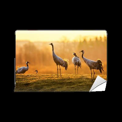 Fototapete gruppe von kran v gel am morgen auf nassem gras pixers wir leben um zu ver ndern - Fliesenaufkleber gras ...