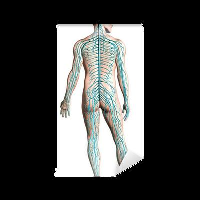 Fototapete Menschliche Nervensystem-Diagramm. • Pixers® - Wir leben ...