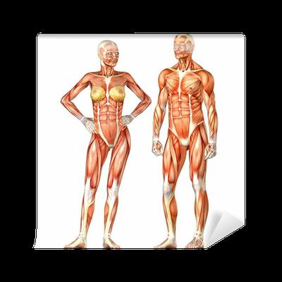 Fototapete Menschlicher Körper-Anatomie - männlich und weiblich ...