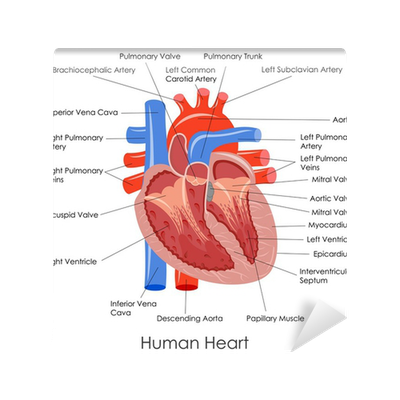 Fototapete Vektor-Illustration von Diagramm des menschlichen Herzens ...