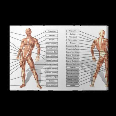 Leinwandbild Vector 3D Mann Muskelanatomie mit Text isoliert ...