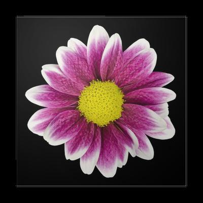 Poster Lila Dahlia Blume mit gelben Zentrum Isolated • Pixers® - Wir ...