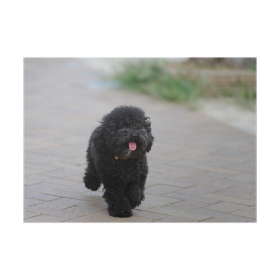 A Toy Poodle Dog Running On The Ground Poster Pixers We Live To Change