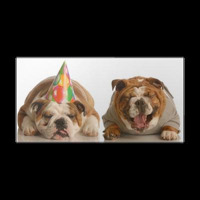 Poster Een Engels Bulldog Lachen Op Een Ander Dragen Verjaardag Hoed Pixers We Leven Om Te Veranderen