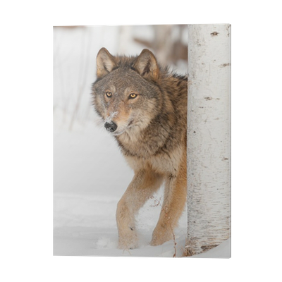 Grey Wolf Canis Lupus Walks From Behind Birch Tree Pvc