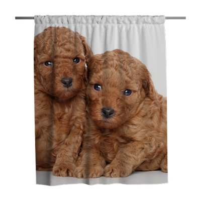 Toy Poodle Puppies 30 Days On A White Background Shower Curtain Pixers We Live To Change