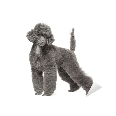 Black Toy Poodle Sticker Pixers We Live To Change