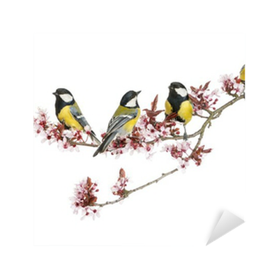 Group of Male great tits, Parus major, isolated Sticker ...