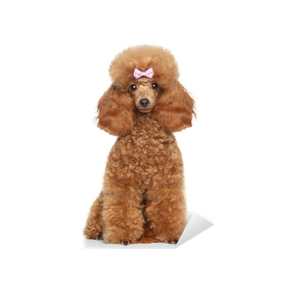 Toy Poodle Puppy On A White Background Sticker Pixers We Live To Change