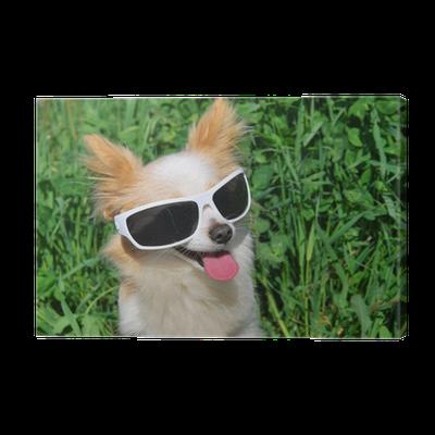 49552384da50d Tableau sur toile Chihuahua à poil long de lunettes de soleil • Pixers® -  Nous vivons pour changer