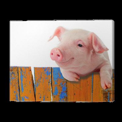 tableau sur toile dr le de porc accroch sur une cl ture isol sur fond blanc pixers nous. Black Bedroom Furniture Sets. Home Design Ideas