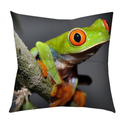 Curious Red Eyed Or Gaudy Green Tree Frog In Tree
