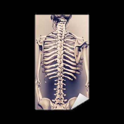 Vinilo Pixerstick El esqueleto humano vuelta vertebral • Pixers ...