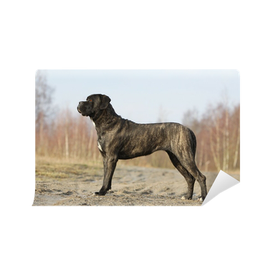 Cane Corso Adulte De Profil Immobile Wall Mural Pixers We Live To Change