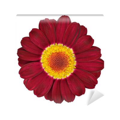 Dark red gerbera flower isolated on white wall mural pixers we dark red gerbera flower isolated on white wall mural pixers we live to change mightylinksfo